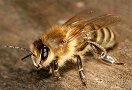 حمله زنبورها منجر به توقف مسابقه فوتبال شد!